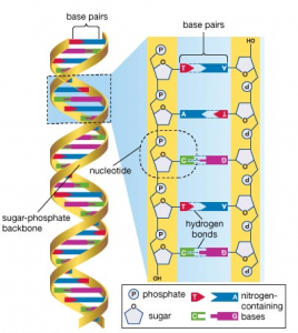 dna base pair